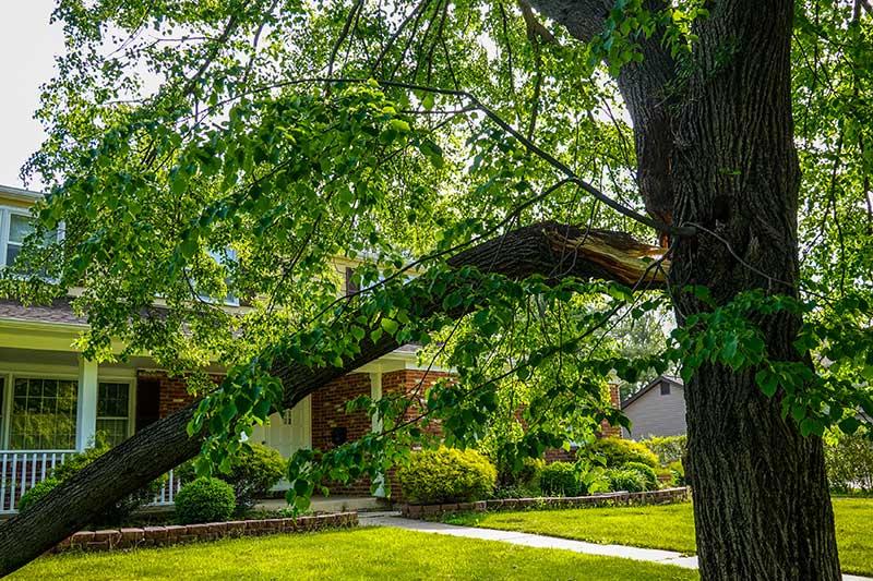 spurless tree climb arborist